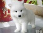 家養雪白漂亮的薩摩耶幼犬寶寶要找新家了,公母都有哦