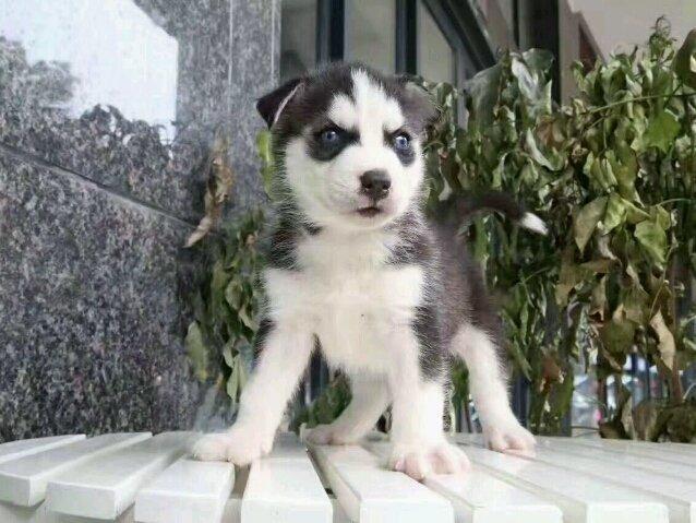 优良血统 纯种哈士奇犬 健康 活泼 已疫苗驱虫