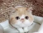 高品質大臉加菲貓水滴眼超可愛健康無癬