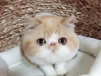 高品质大脸加菲猫水滴眼超可爱健康无癣