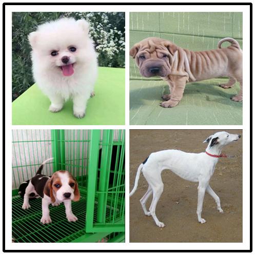 养殖场出售中型犬 拉布拉多 边牧 萨摩耶 金毛 哈士奇包售后