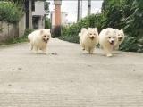 西安本地 出售萨摩耶幼犬 本地狗现货挑选 健康保障