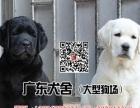 宠物狗拉布拉多犬纯种健康广东犬舍拉布拉多犬养殖场