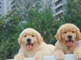 家养一窝纯种金毛犬可以签协议 来家里看狗父母