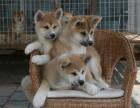 哪里出售秋田犬 哪里有卖秋田犬 秋田犬价格