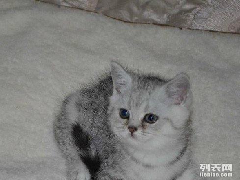 精品银渐层 美短幼猫质保出售 签协议可见父母
