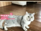 思晴名猫坊--英短猫银渐层大种公亨利展