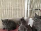 小蓝猫一窝 还有一只大蓝猫