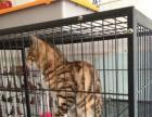 纯种豹猫找新家 两个月大健康活泼 欢迎上门挑选