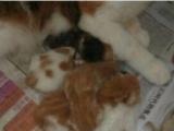 自家生的单证加菲猫找新家