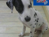 纯种斑点狗,喜欢大麦町犬的朋友联系,包健康可预定