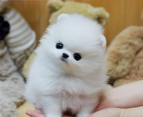 广州博美犬价格 博美犬一只多少钱 售后包健康 珠三角可送货