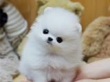廣州博美犬價格 養殖場直銷多種高品質名犬 價格實惠包健康