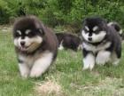 出售冠军后代两个多月的小阿拉斯加幼犬健康可爱