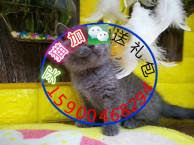 自家猫舍繁育一窝蓝猫 包纯种 包健康