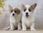 西安出售3个月的柯基犬(公母均有)包犬瘟细小-签协议