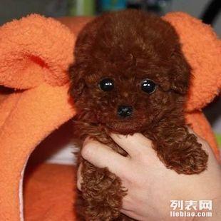 重庆哪里有纯种健康贵宾买重庆什么地方可以买到贵宾狗