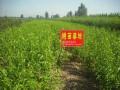 常年出售桃树果树及各类绿化苗占地苗