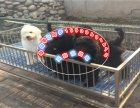 出售纯种贵宾犬,包健康可签协议 多色挑选有公母