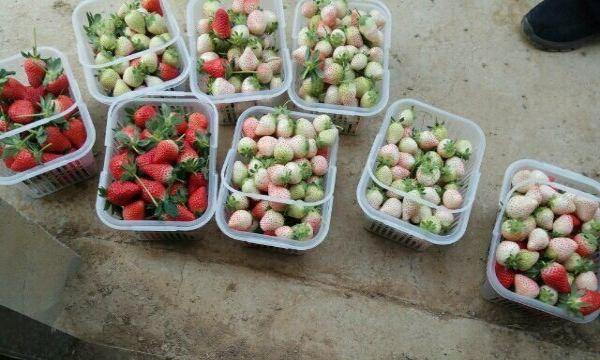 静韬牛奶草莓圣女果采摘