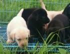 上门挑选 精品拉布拉多犬 可签协议 可测试犬瘟细小