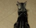 转让一岁美国虎斑猫,送猫笼猫砂猫粮全套猫用品