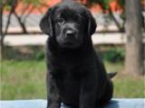 上海黄浦大骨架拉布拉多幼犬价格多少