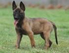 桂林纯种马犬价格 桂林哪里能买到纯种马犬