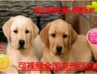 送心上人拉布拉多幼犬便宜出售,诚心想养的联系我