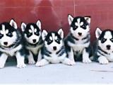 广州 出售纯种哈士奇幼犬 品相出众 签协议保健康