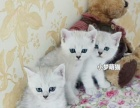 纯种银渐层折耳立耳健康猫宝宝找爱猫主人猫贩勿扰