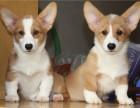 深圳出售纯种柯基幼犬威尔士短腿双色三色柯基犬小