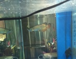 金龙鱼转金龙鱼转