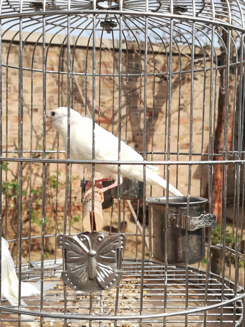 甘肃兰州玉鸟有售