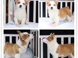 繁殖 柯基幼犬 威尔士柯基犬 英国女王较爱