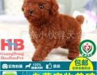 中山犬舍中山哪里有卖泰迪熊宠物狗 纯种泰迪熊小狗