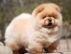 长沙纯种松狮价格 长沙哪里能买到纯种松狮犬