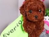 甜美可爱的微小泰迪幼犬 苹果脸-大眼睛-无体味