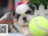 银川哪里有卖马尔济斯 纯白小体美丽高贵气质马尔济斯幼犬