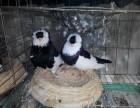 出售两斤的元宝鸽,摩登娜鸽,仙女鸽,天使鸽等