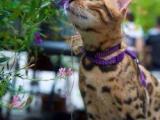 甜美孟加拉豹猫出售疫苗做齐签协议保证猫咪健康