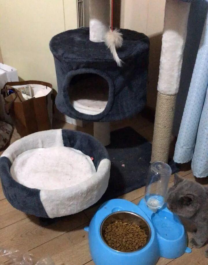 给蓝猫宝宝找新主人,送猫砂盆猫饭盆猫爬架全套
