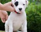 三个月幼犬品相好 包健康包纯种
