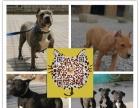 专业繁殖基地出售斗狗比特聪明听话的斗犬