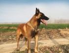 出售纯种马犬 马犬幼犬 品质好信誉高质量保