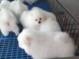 新疆乌鲁木齐本地 出售博美犬,疫苗驱虫已做,可视频