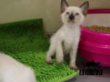 上海卢湾纯血双血统暹罗猫低价出售