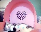 家庭繁育纯种美国短毛猫银虎斑起司猫