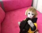 袖珍石猴,宠物猴