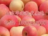山东苹果批发基地有充足的供应货源本着诚信交易的原则,电话,